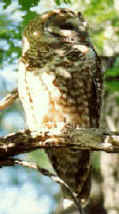 Mexican spotted owl (Strix occidentalis lucida)